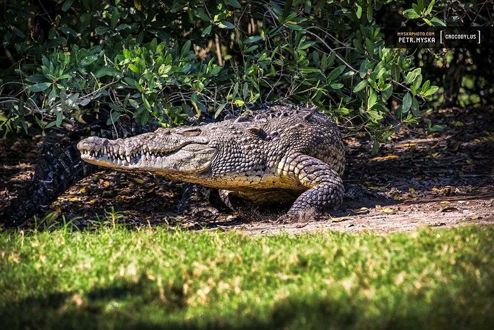 Crocodylus acutus, American crocodile, Cocodrilo de rio