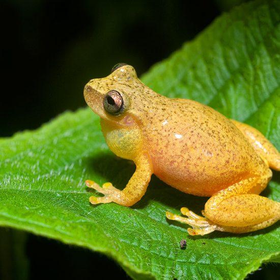 Exerodonta smaragdina, Emerald Tree Frog