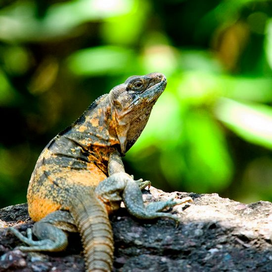 Ctenosaura pectinata Mexican spiny tailed iguana