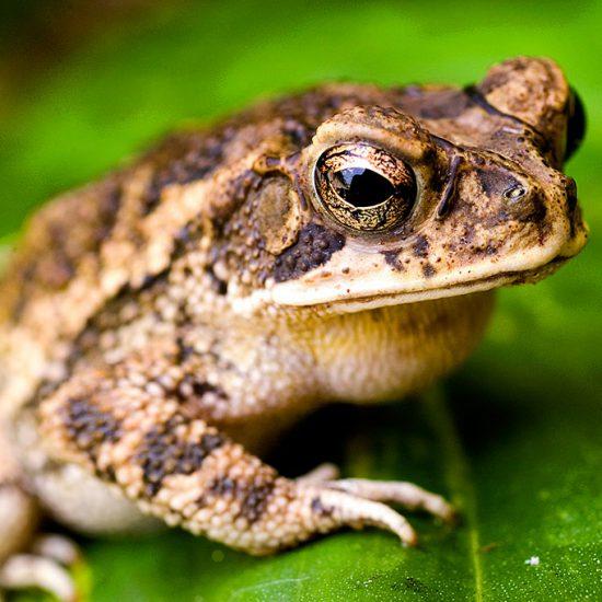 Incilius mazatlanensis, Sinaloa toad, Sapo de Sinaloa