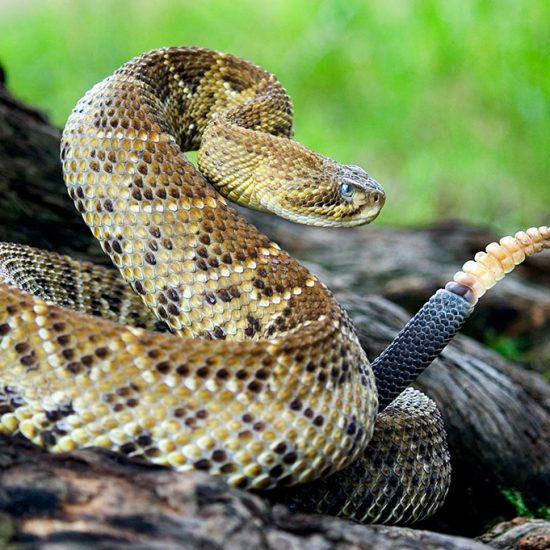 Crotalus basiliscus Mexican West Coast Rattlesnake